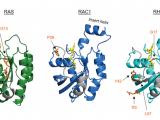 癌症中的RAS和RHO家族GTPase突变:不同母亲的双胞胎儿子?(图文)