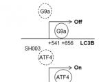 SH003通过激活ATF4和抑制缺氧状态下G9a激活胃癌细胞自噬性死亡